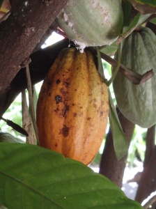 A cacao fruit on the tree in the museum's garden